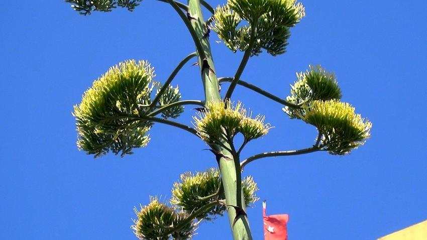 Agave bitkisi Silivri'de çiçek açtı
